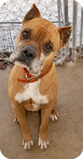 Boxer Dog for adoption in Brentwood, Tennessee - Daniel