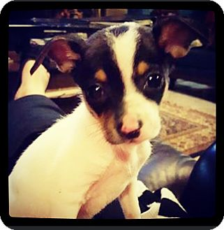 Chihuahua/Rat Terrier Mix Puppy for adoption in Grand Bay, Alabama - Cale