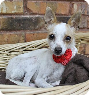 Chihuahua Mix Dog for adoption in Benbrook, Texas - Tina