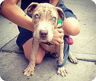 Catahoula Leopard Dog/Labrador Retriever Mix Puppy for adoption in Manhattan, New York - Petey