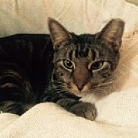 Domestic Shorthair Cat for adoption in Delmont, Pennsylvania - Skidipper