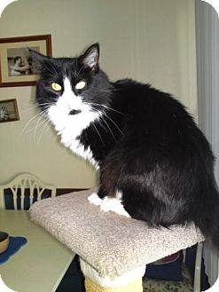 Domestic Longhair Cat for adoption in Sparta, Illinois - Sylvia