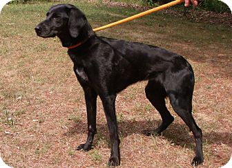 Labrador Retriever/Whippet Mix Dog for adoption in Muskegon, Michigan - Ethel