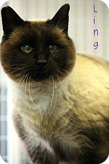 Siamese Cat for adoption in Cedar Rapids, Iowa - Ling