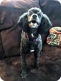 Poodle (Miniature) Mix Dog for adoption in Tijeras, New Mexico - Apollo