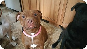 American Staffordshire Terrier Mix Dog for adoption in West Allis, Wisconsin - Biddy