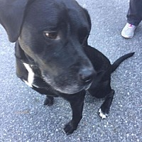 Adopt A Pet :: Shadow - Sayville, NY