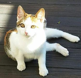 Domestic Shorthair Cat for adoption in Lindenhurst, New York - Tranquila