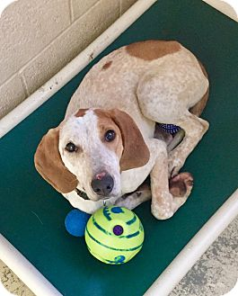 Hound (Unknown Type) Mix Dog for adoption in Greensburg, Pennsylvania - Lightning