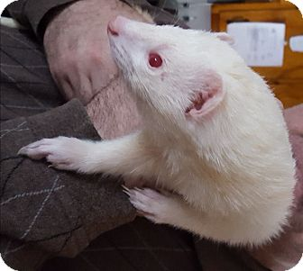 Ferret for adoption in Hartford, Connecticut - Diggy