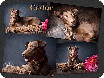 Labrador Retriever/Setter (Unknown Type) Mix Dog for adoption in Jerome, Idaho - Cedar