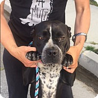 Adopt A Pet :: Gidget - Santa Monica, CA