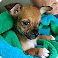 Adopt A Pet :: Meeney - Wylie, TX