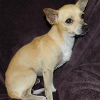 Chihuahua Mix Dog for adoption in Umatilla, Florida - Ron