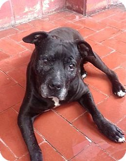 Staffordshire Bull Terrier Mix Dog for adoption in San Diego, California - CAPTAIN