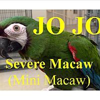 "Adopt A Pet :: ""JO JO"" Sever Macaw Mini Macaw - Vancouver, WA"