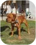Bullmastiff Dog for adoption in Ladera Ranch, California - Stanley