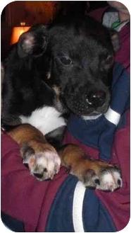 Rottweiler/Shepherd (Unknown Type) Mix Puppy for adoption in North Kingstown, Rhode Island - Fritz