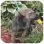 Photo 1 - Shepherd (Unknown Type) Mix Puppy for adoption in Ortonville, Michigan - Fudge
