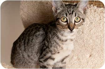 Bengal Kitten for adoption in Houston, Texas - Micky