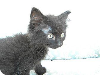 Domestic Mediumhair Kitten for adoption in Pueblo West, Colorado - Bows