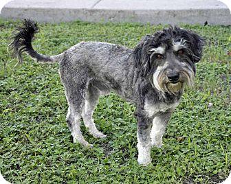 Schnauzer (Standard) Mix Dog for adoption in Corpus Christi, Texas - Fritz