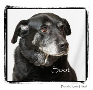 Labrador Retriever Mix Dog for adoption in Warren, Pennsylvania - Soot