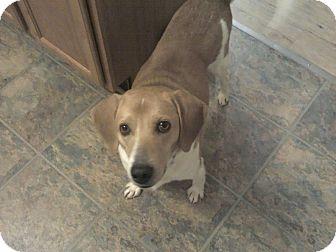Beagle Mix Dog for adoption in Greensboro, Georgia - Bud (Budweiser)- Adopted!!