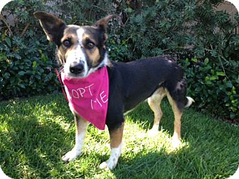 Welsh Corgi Mix Dog for adoption in Pasadena, California - KARINA