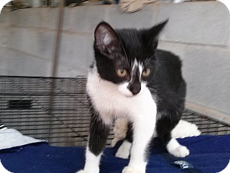 Domestic Shorthair Cat for adoption in castalian springs, Tennessee - Dude