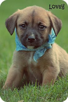 Boxer/Shepherd (Unknown Type) Mix Puppy for adoption in Cranford, New Jersey - Lovey