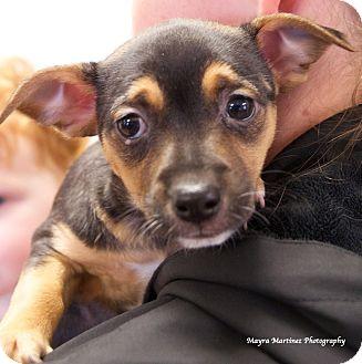 Terrier (Unknown Type, Medium)/Shepherd (Unknown Type) Mix Puppy for adoption in Marietta, Georgia - Jessie