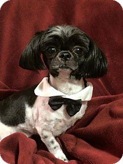 Shih Tzu Dog for adoption in Gainesville, Florida - Skipper