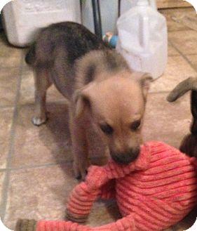 German Shepherd Dog/Beagle Mix Puppy for adoption in Pennigton, New Jersey - Nane