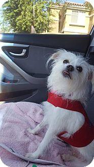 Maltese/Rat Terrier Mix Dog for adoption in Goodyear, Arizona - Bella