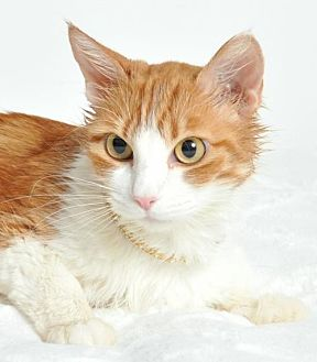 Domestic Shorthair Cat for adoption in Roseville, California - Red Fox