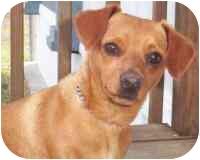 Dachshund/Chihuahua Mix Dog for adoption in Carrollton, Texas - Humphrey