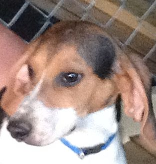 Beagle Dog for adoption in Columbia, Kentucky - Moe