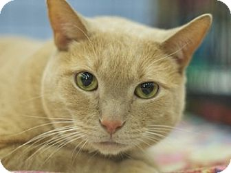 Domestic Shorthair Cat for adoption in Great Falls, Montana - Muffaso
