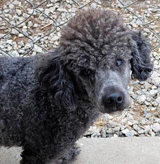 Poodle (Miniature) Mix Dog for adoption in Spartanburg, South Carolina - Lollipup Jack
