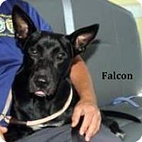 Adopt A Pet :: Falcon - Cairo, GA