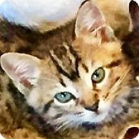 Adopt A Pet :: Mischief - Aurora, CO
