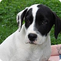 Adopt A Pet :: Thor (32 lb) Video - Sussex, NJ