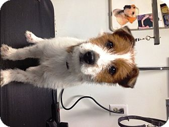 Jack Russell Terrier/Wirehaired Fox Terrier Mix Puppy for adoption in Santa Fe, Texas - Opie
