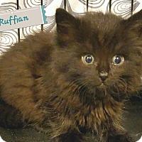 Adopt A Pet :: Ruffian - Trevose, PA