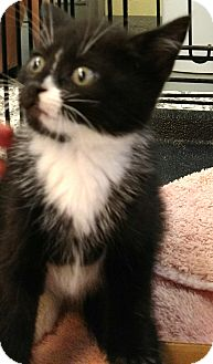 Domestic Shorthair Kitten for adoption in Randolph, New Jersey - Oreo and Newman