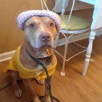 Pit Bull Terrier Mix Dog for adoption in Philadelphia, Pennsylvania - Navaja