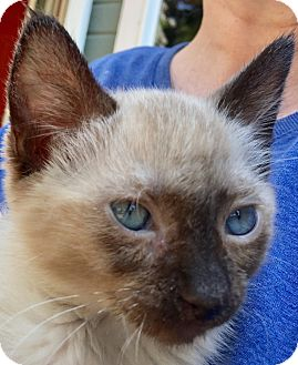 Siamese Kitten for adoption in Meridian, Idaho - Avalon