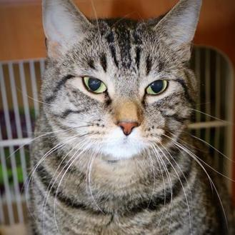 Domestic Shorthair/Domestic Shorthair Mix Cat for adoption in Rochester, Minnesota - Chester