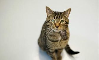 Domestic Shorthair/Domestic Shorthair Mix Cat for adoption in Carroll, Iowa - Lucky